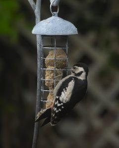 Woodpecker on Ian Gill Sculpture Bird Feeder