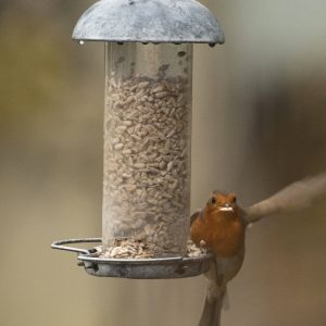 Robin on Bird Feeder